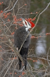 Pileated Woodpecker with Winterberries